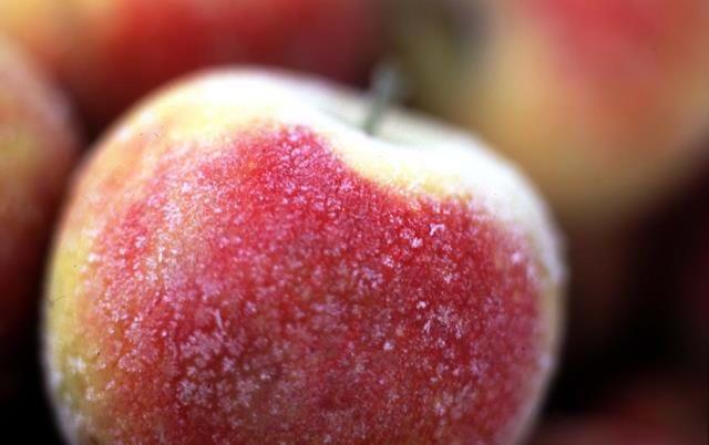 Frusna äpplen. Foto: Lisa Nestorsson