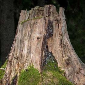 Johan Holm visar fotografier - porträtt av skogens stubbar. Vernissage 1 februari kl. 12-13. Utställningen pågår t.o.m. 29/2. Bibliotekets öppettider.