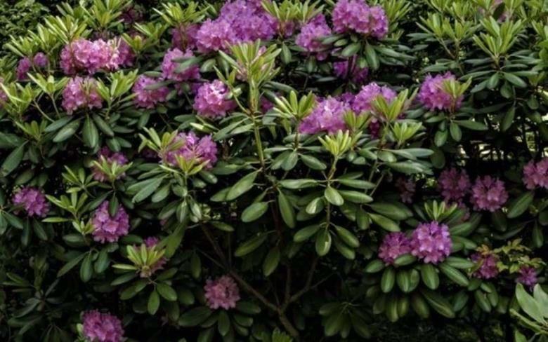 Kung Blackes Gycklare sätter upp : UPPDRAG GRÖNSKNING  I Sofieros slottspark växer de världsberömda rhododendronbuskarna och det är också därifrån de  försvinner, en efter en.  Kan kommissarie Bock lösa mysteriet där det förekommer inblandade giftsprutor, flirtande flickor och en bestämmande mor?
